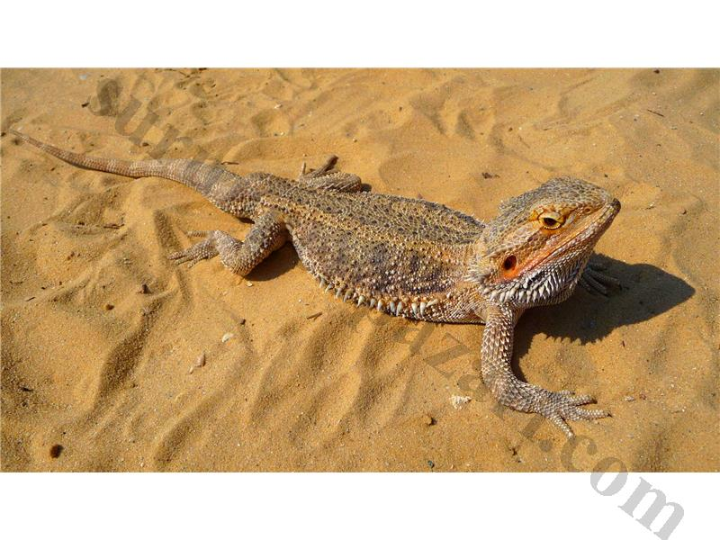 bearded lizard life span - 537×414