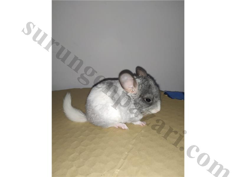 Mutasyon yavru chinchilla